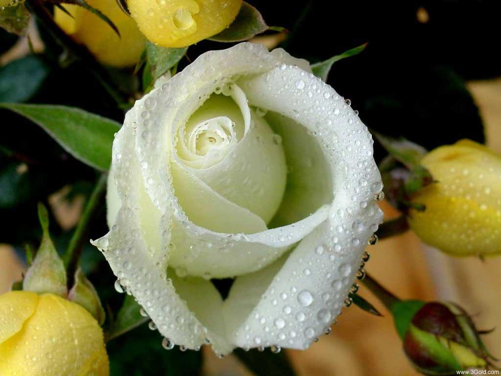 Fresh Flowers Desktop Wallpapers virtual pictures online # 24