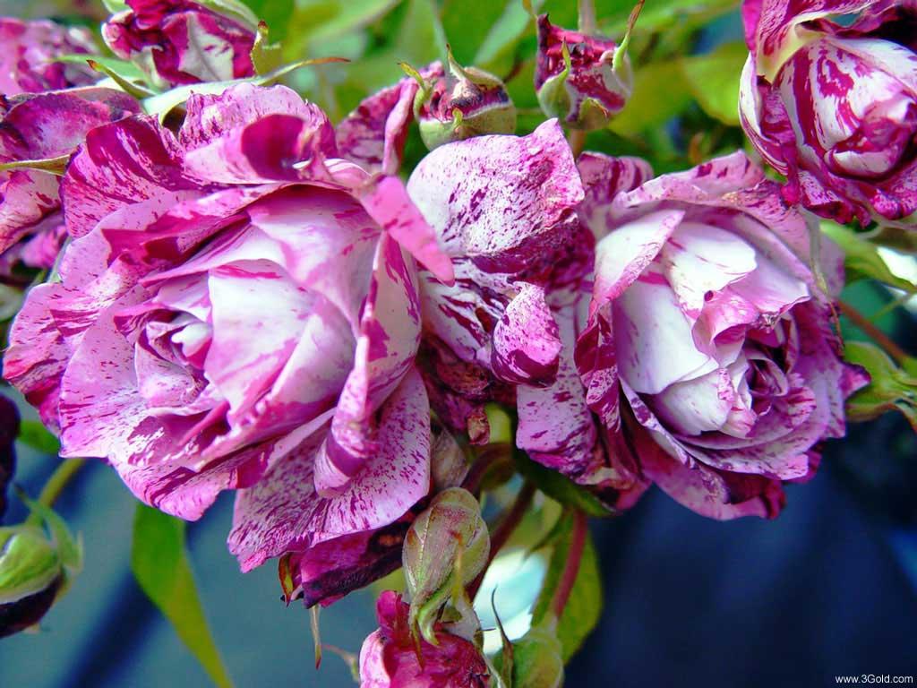 Fresh Flowers Desktop Wallpapers virtual pictures online # 31