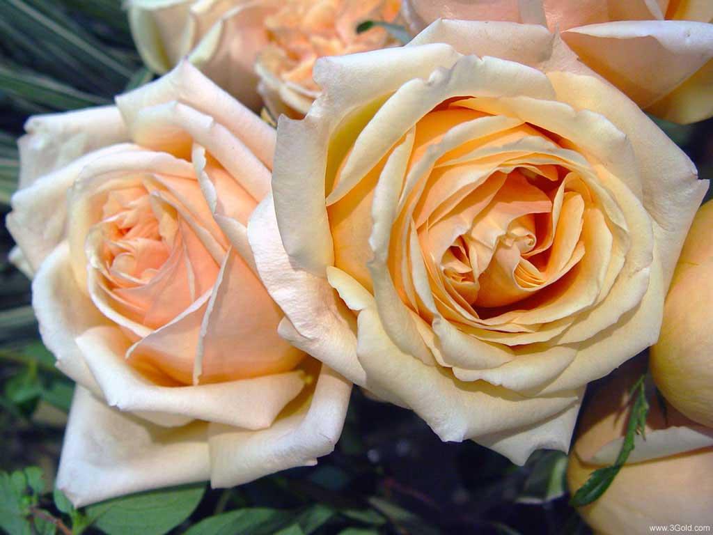 Fresh Flowers Desktop Wallpapers virtual pictures online # 37