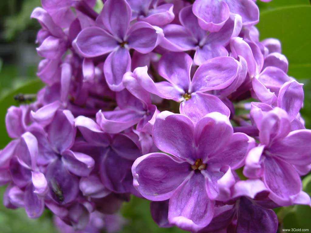 Fresh Flowers Desktop Wallpapers virtual pictures online # 53
