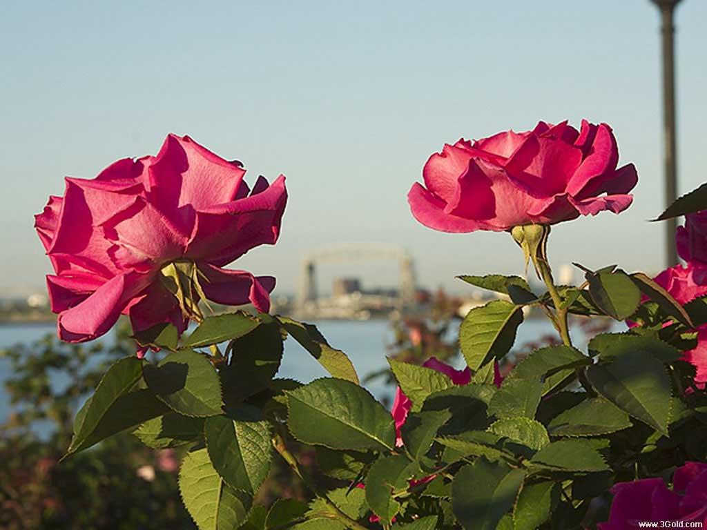 Fresh Flowers Desktop Wallpapers virtual pictures online # 63